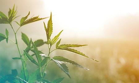 Hanfpflanze vor diffus sonnigem Hintergrund
